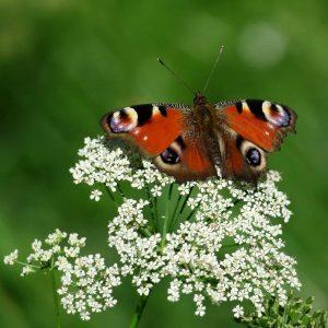 Brauner Schmetterling Pfauenauge mit ausgebreiteten Flügeln auf weisser Schafsgarbe