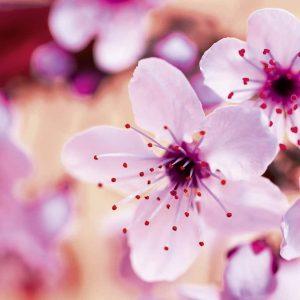 Rosa-weiße KIrschblüte - Duftnote für Raumduftsystem Paradise Air Bar - ein Dufterlebnis