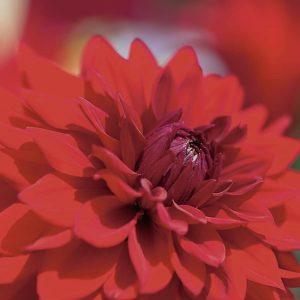 Rote Sommer bzw. Herbstblume - Dahlie - symbolisuert sommmerliche Duftnote für Duftspender Air Bar - ein Dufterlebnis